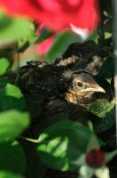 One of three baby robins in the rose bush.