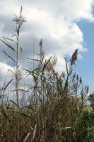 Corsons Inlet Bulrushes