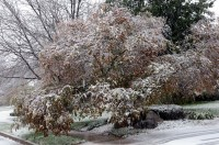 First Snow, 2011 / front tree